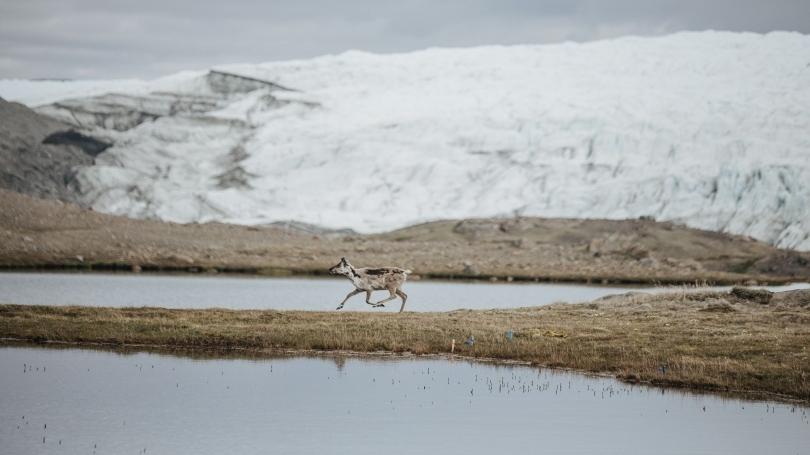 A baby elk runs in a snowy field.
