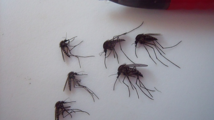 Female Mosquitoes