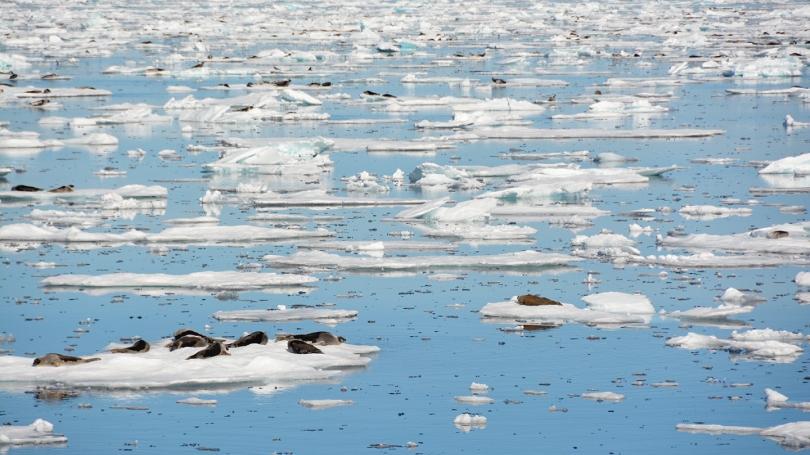 seals on sea ice